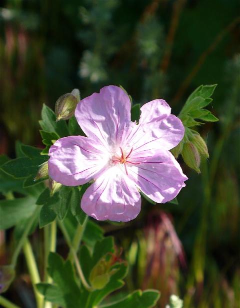 A Wild Geranium