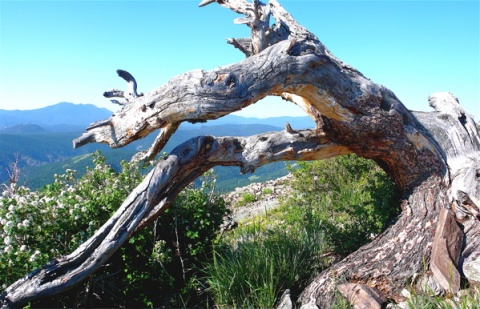 Gnarled Trunk on Top of the Mountain