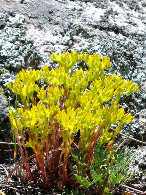 Yellow Stonecrop and Stone