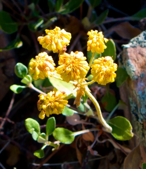Yellow Flowers along Fowler Trail  