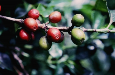 Ripe and Unripe Coffee Beans