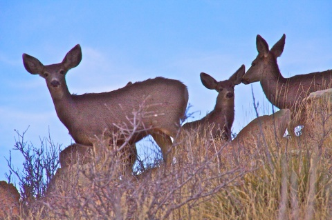 Mule Deer on the Horizon