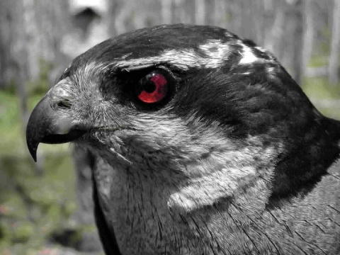 A Male Goshawk -- Photo by <a href=