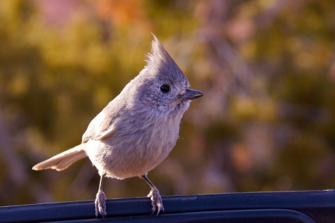 Juniper Titmouse on My Door
