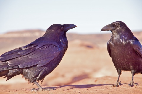 Two Ravens at Delicate Arch
