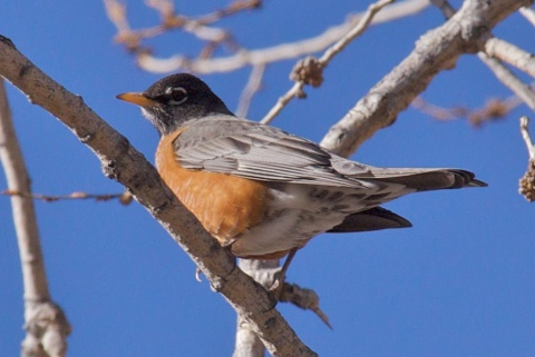 A Robin near Coal Creek