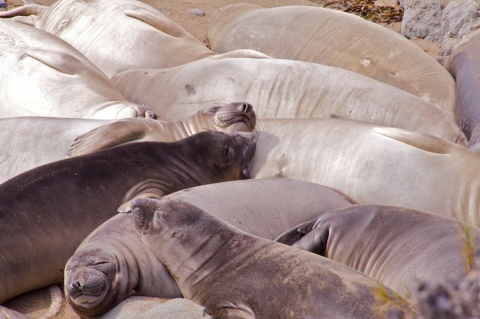 Elephant Seals at Piedras Blanca Rookery