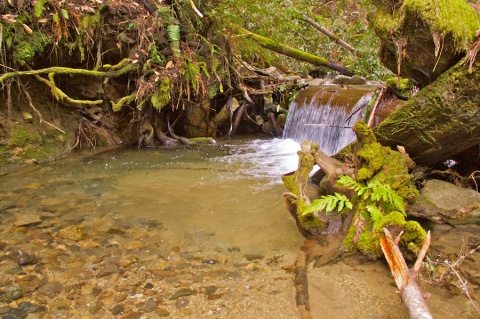 The Creek Flows over a Downed Redwood into a Pool