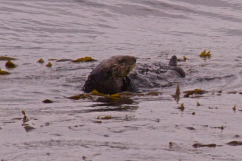 California Sea Otter in its Kelp
