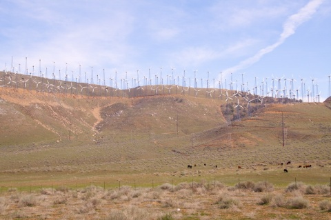 A Few of the Wind Turbines (and Cows) Near Tehachapi Summit