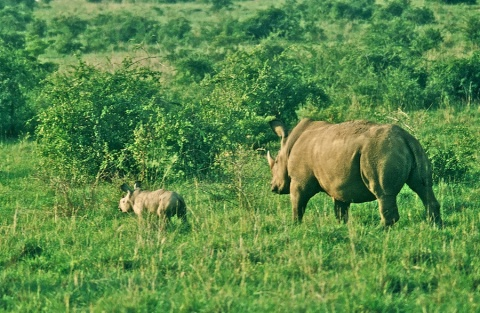 Moma and Baby White Rhinos