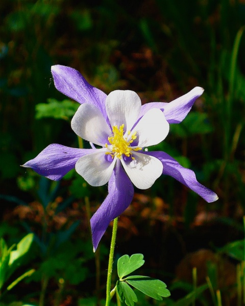 Colorado\'s State Flower, Golden Gate Canyon State Park