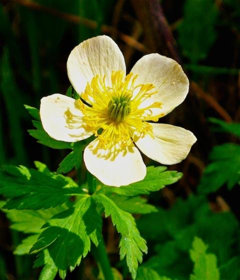 Another Beautiful Flower near Emerald Lake