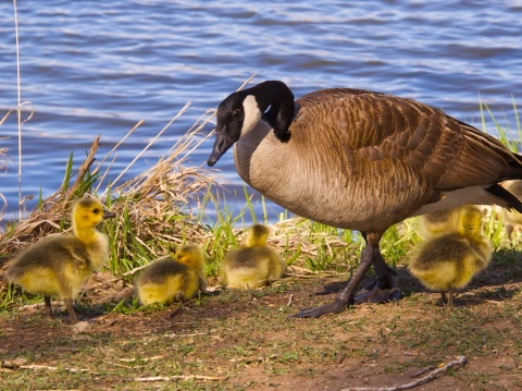Young and Old Canada Geese