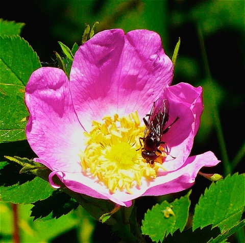 Bee Enjoying a Mountain Rose near Fern Lake, Rocky Mountain National Park
