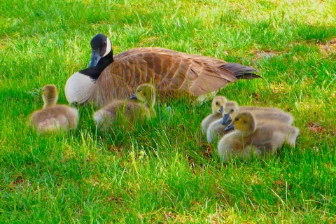 Goslings and Mama Canada Goose