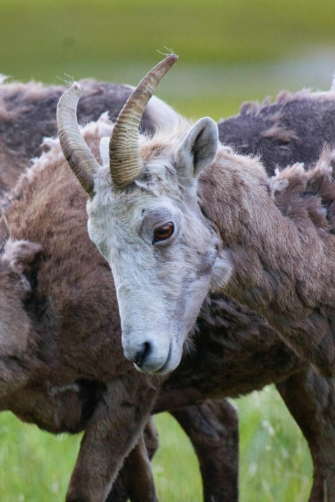 Bighorn Sheep (Photo by Mark Bobb: Used by Permission)