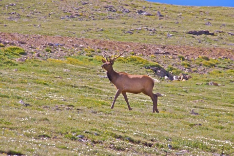 A Young Bull Elk Strides Across the Tundra