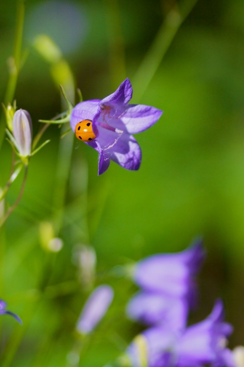 A Ladybug Rests on a Harebell