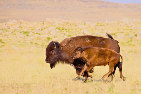 Mama Bison and Her Baby