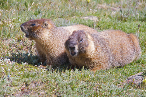Lunch for a Pair of Marmots
