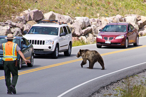 As the Range Held Us Back, the Grizzly Crossed the Park Road