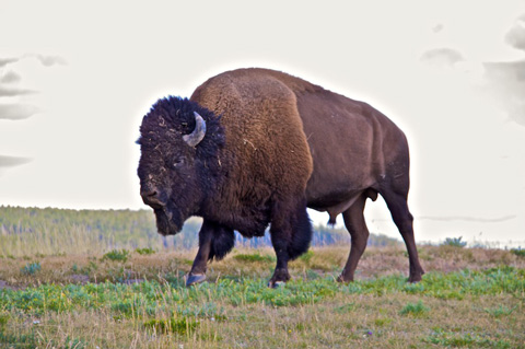 One of Yellowstone's 3,500 Bison