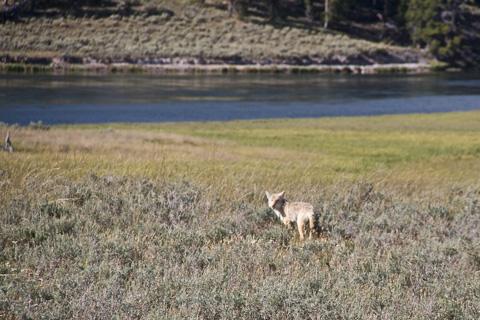 Coyote Feeds