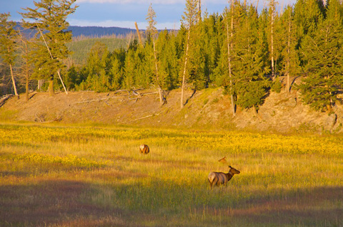 Three Elk in a Field Near the Madison River
