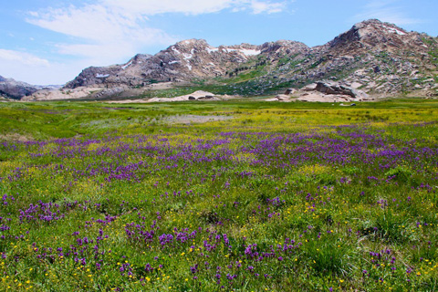 A Field of Lupines and Other Flowers