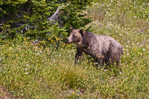 The Grizzly Starts to Climb Up to the Road