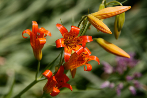 Tiger Lilies Growing Early on Our Trek Along the Trail