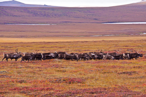 One of Five Herds of Caribou or Reindeer I Saw Today