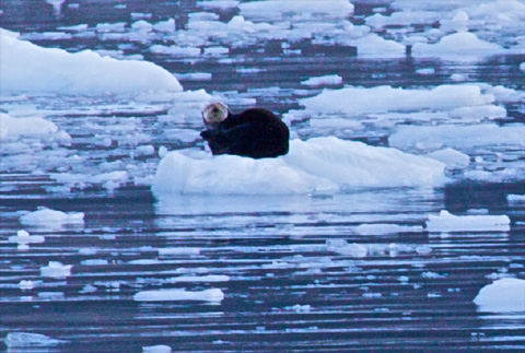 This Otter Cools off on an Iceberg