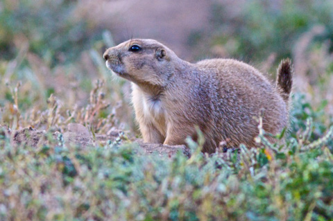 Neighborhood Prairie Dog