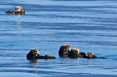 We Also Saw Lots of Sea Otters, An Endangered Species Here