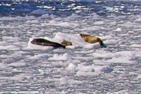 Steller Sea Lions, Another Endangered Species, Also Cool off on the Ice