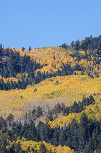 Close Up of Aspens Turning on the San Juans
