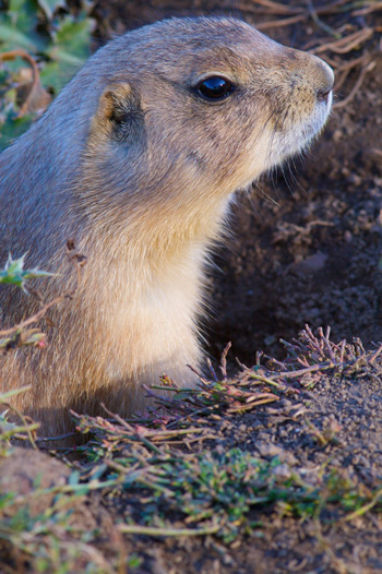 Close Up of a Prairie Dog