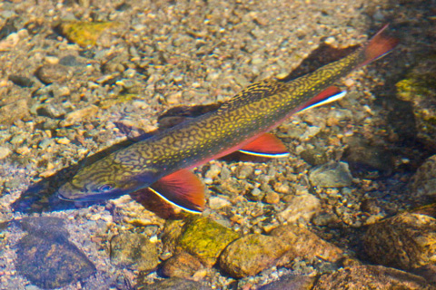 Brook Trout in a Brook