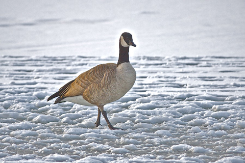 Cold and Lonely on the Ice