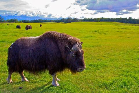 Musk Oxen near Palmer, Alaska