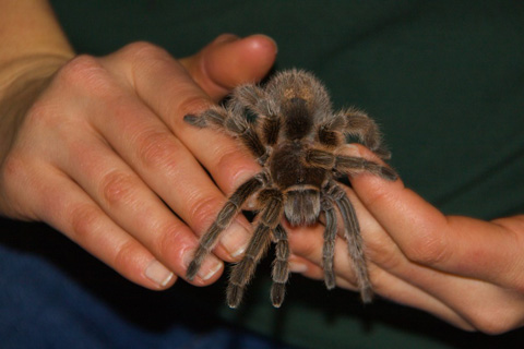 """Rosie,"" the Tarantula"