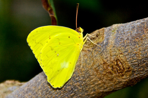 The Only Yellow Butterfly