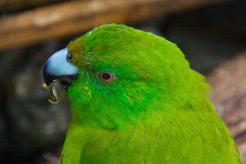 An Antipodes Island Parakeet