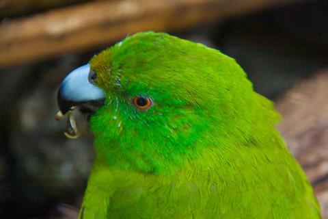 An Antipodes Island Parakeet