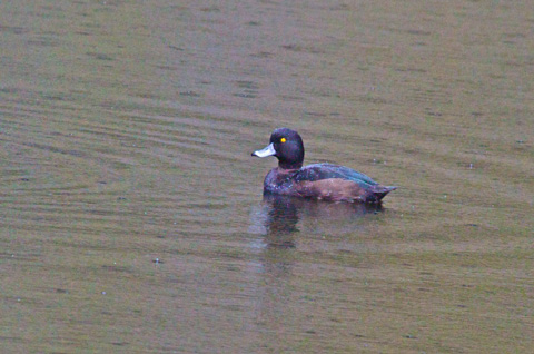 A Black Teal in the Rain at Hidden Lake