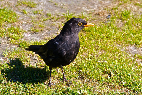 And for Some Reason People call this a Blackbird