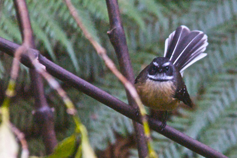 This Fantail Tried to Grab the Insects that I Disturbed as I Walked