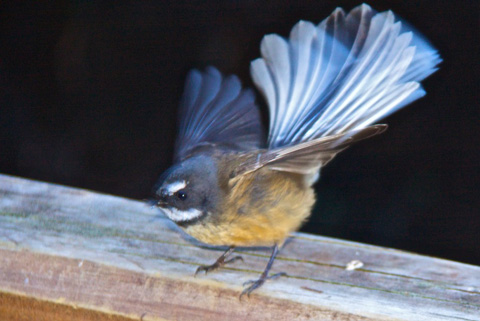 A New Zealand Fantail has a Fantastic Tail